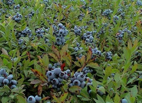1ft Herbert Blueberry Bush 2l Pot Wild Maine Blueberries