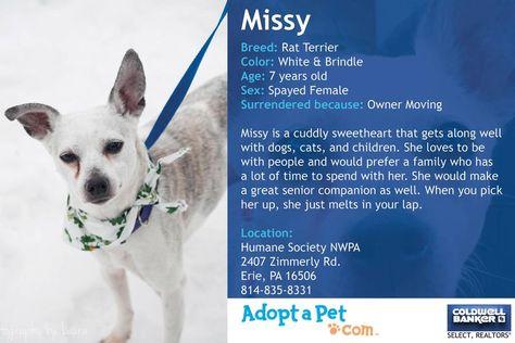 Missy The Rat Terrier Rat Terriers Pet Adoption Terrier