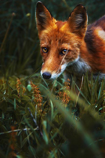 Red Fox By Ivan Burevestnik National Geographic Your Shot National Geographic Animals National Geographic Photography Animal Geographic