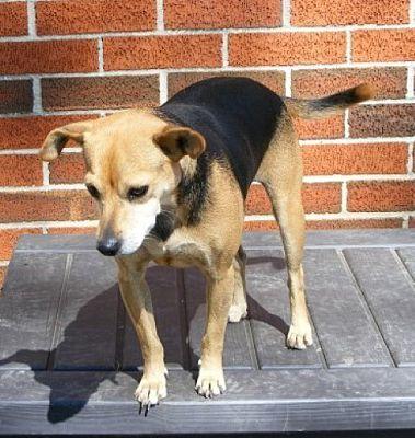 Greenwich Ct Jack Russell Terrier Meet Daisy A Dog For Adoption Jack Russell Terrier Pet Adoption Pets