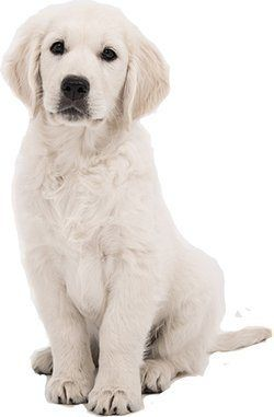 5 Best Dog Foods For Golden Retrievers Best Dog Food English