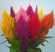 Celosia Plant Care How To Grow The Cockscomb Flower Celosia Plant Celosia Flower Flowers