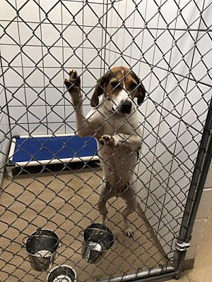 Zanesville Oh Coonhound Meet 55986 Jody A Dog For Adoption Save A Dog Dog Adoption Kitten Adoption