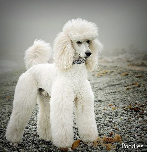 Pin On Poodle