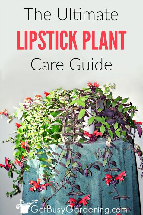 Lipstick Plant Care Guide How To Care For A Lipstick Plant