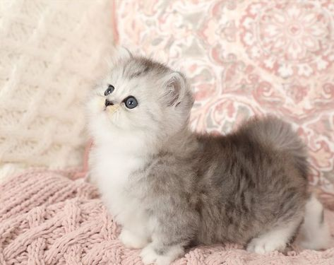 Ragdoll Kittens White Cats And Kittens In 2020 Ragdoll Kitten Cute Cats And Kittens Ragdoll Kittens For Sale
