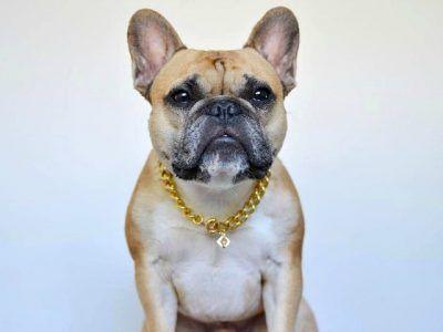 Brooklyn Gold Chain French Bulldog Small Dog Accessories