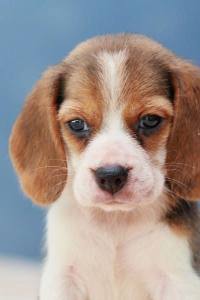 Pin By Debbie Verrengia On Beagles Forever Beagle Puppy