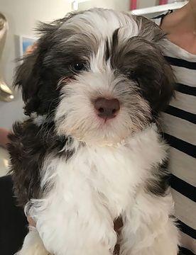 13 6 17 3531 Kleine Hunde Havaneser Hunde