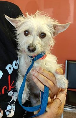 Seattle Wa Cairn Terrier Meet Juliette Jackson A Dog For Adoption Dog Adoption Cairn Terrier Mix Kitten Adoption