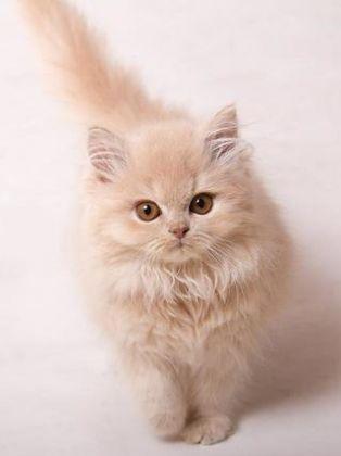 10 Teuerste Katzenrassen Der Welt Les Plus Beaux Chats Beaux