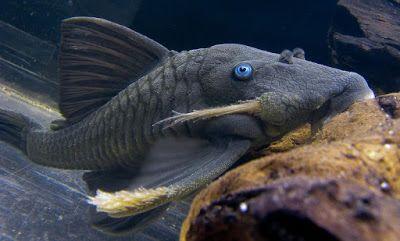 Ikan Sapu Sapu Panaque Cochliodon Blue Eyed Pleco Di 2020 Ikan Tropis Ikan Habitat