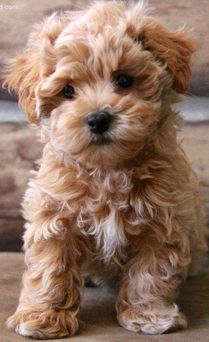 Rasse Maltipoo Rasse Maltipoo Doglovers Dogsandpuppies Maltipoo Rasse In 2020 Cute Puppies Cute Small Dogs Maltipoo Dog