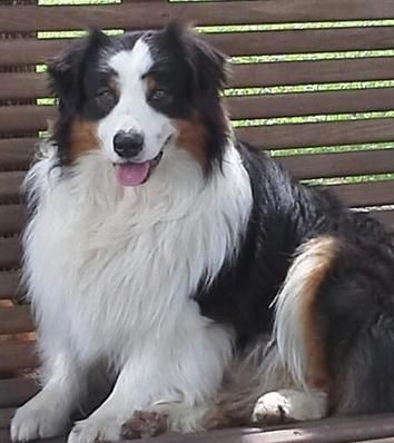 We Breed Quality Akc Australian Shepherd Puppies We Go Above And Beyond To Breed To The Australian Australian Shepherd Australian Shepherd Puppies Aussie Dogs