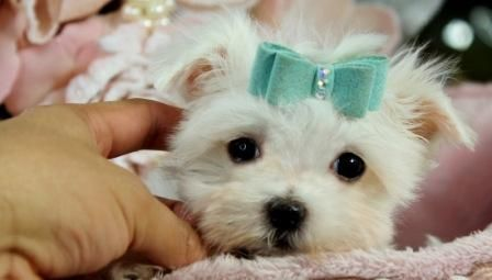 Maltese Teacup Puppies For Sale We Ship Very Safe Easy
