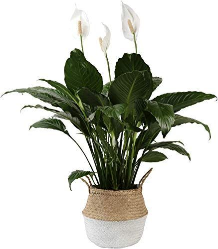 Amazing Offer On Costa Farms Peace Lily Spathiphyllum Indoor Plant D Cor Planter 3 Foot White Natural Seagrass B In 2020 Indoor Plants Plants Hanging Plants Indoor