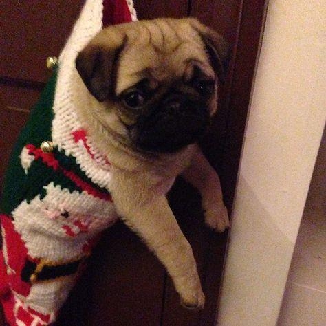 cutepugpics: Behold the Christmas Puggie, who visits all the good little boys and girls! (via millionpugs)