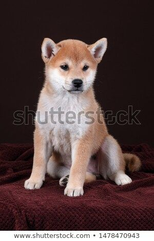 Stock Photo Cute Little Shiba Inu Puppy On Brown Background