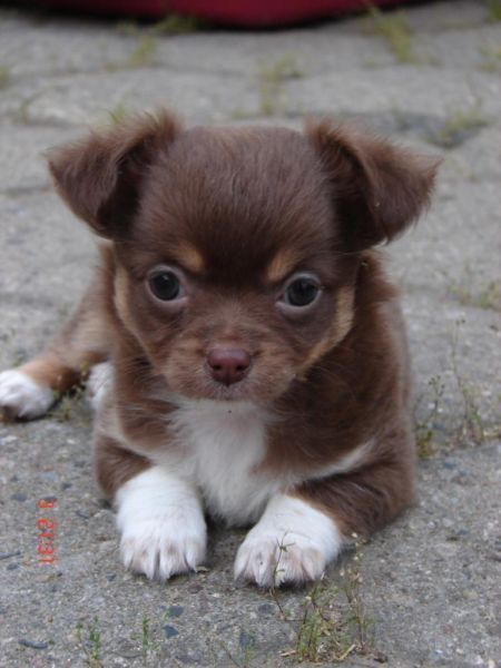 Chihuahua Puppy Welpe Brown Tan Longhaired Brown Chihuahua