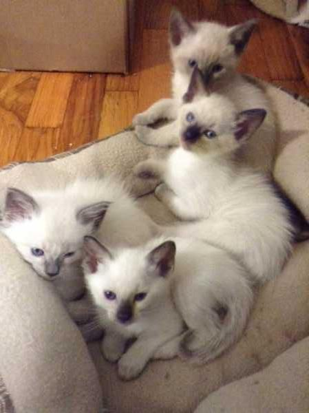 Cuties Chilling Together Aww Adorable Kitties Kittens Siamese Siamesecats Kittens Siamese Cats Siamese Kittens