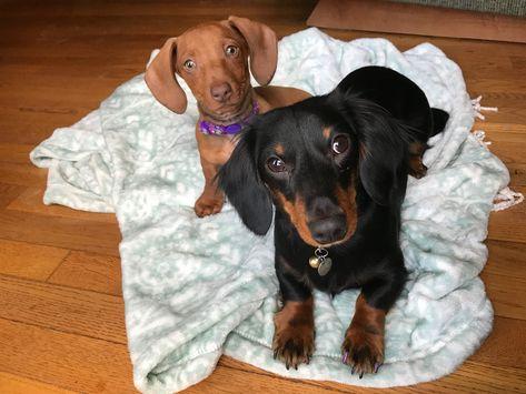 Daisy Mae And Ella Dachshund Sisters Dachshund Puppy Short