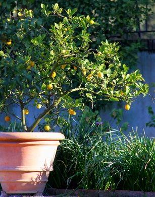 Citronnier En Pot Entretien Taille Rempotage Fruitier Faire Pousser Un Citronnier Et Citronnier