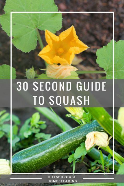 30 Second Guide To Growing Squash Growing Squash Organic