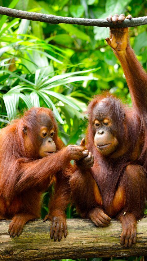 Animal Orangutan Monkeys Monkey Primate Wildlife (1080x1920) Mobile Wallpaper