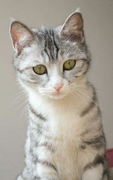 Pin By Nancy Montag On More Cats Pretty Cats Beautiful Cats Cute Cats Kittens