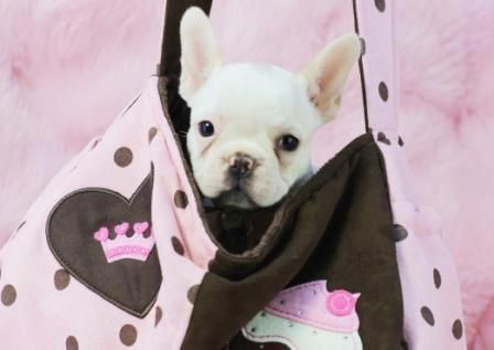 Fanny The French Bulldog For Sale View All My