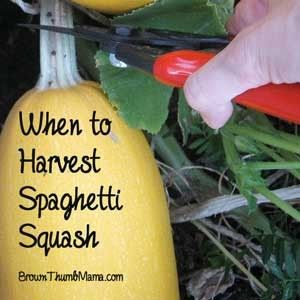 When to Harvest Spaghetti Squash - Brown Thumb Mama