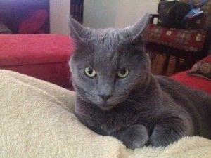 Image Result For Russian Blue Manx Kittens For Sale Manx Kittens