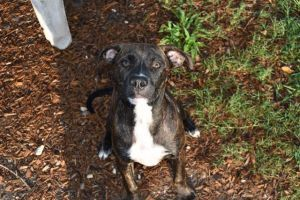 Adopt Tosh On Pitbull Terrier Terrier Mix Bull Terrier Mix
