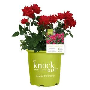 Knock Out Rose 1 Gal Red The Double Knock Out Rose Bush With Red Flowers 13156 The Home Depot Hybrid Tea Roses Planting Roses Knockout Roses
