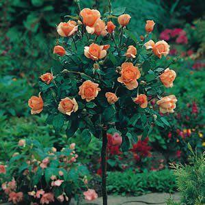 Standard Rose Just Joey Garden Express Standard Roses Garden Express Rose