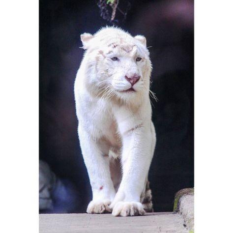 Harimau Putih (Panthera Tigris Tigris)