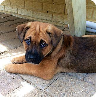 Chesapeake Bay Retriever Mastiff Mix Puppy For Adoption In