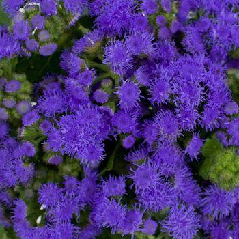 Passionate Purple Ageratum Flower Fiftyflowers Com Alyssum Flowers Purple Flowers Flowers