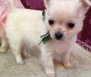 Asnclassifieds Affectionate Chattanooga Chihuahua Adoption