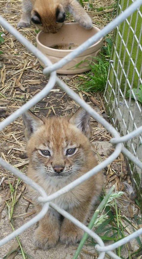 6 Week Old Lynx Kittens At My Local Animalarium Lynx Kitten