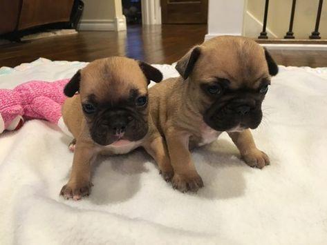 French Bulldog Puppy For Sale In Farmington Mo Adn 71123 On