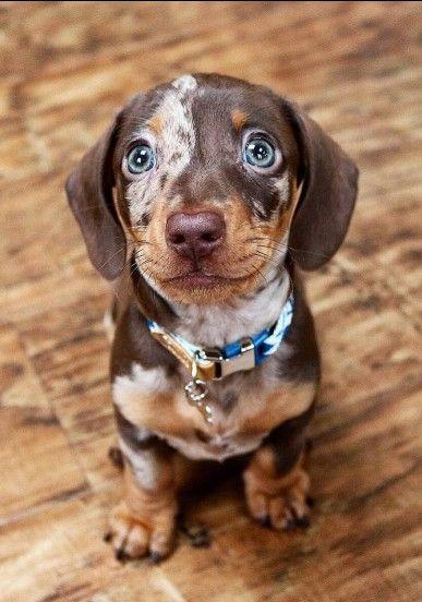 Dachshund Puppies For Sale In Texas Craigslist