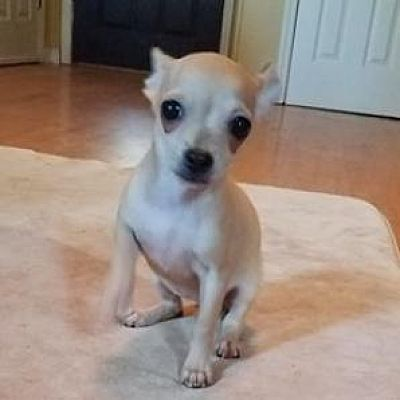 Pictures Of Rylan A Chihuahua For Adoption In Helena Al Who Needs