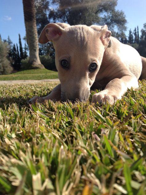 Italian greyhound puppy. Adorable