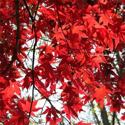 Acer palmatum 'Ō sakazuki' - 5 shrubs for Autumn colour