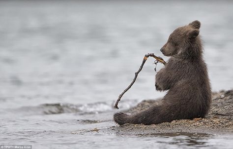 This adorable snap of a young bear cub playing with a stick in Kamchatka, Russia, by Marco Urso from Italy was given a special mention in the Wildlife & Nature category
