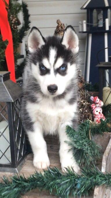 Huskies For Sale In Ohio : huskies, Siberian, Husky, Puppy, BEAVER,, ADN-56504, PuppyFinder.com, Gender:, Female., Weeks, Puppies, Sale,, Puppy,