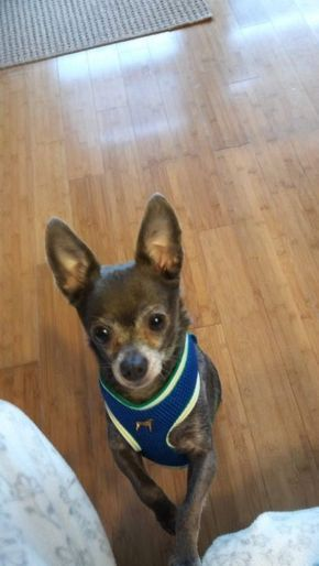 Chihuahua Dog For Adoption In Eastpointe Michigan Chicko