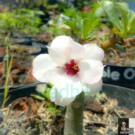#DIK0014 Double Petals Id : Summer Size : (5h) (5d)  #summer #summerday #adenium #obesum #kambojajepang #singlepetal  #dessertrose #suculents #fullsun #graft #backyard #gardening #flower #jogjahits #prambanan #gogreen #tanamanhiasmurah #carbontrade #lifestyle #trendingtopic #tanamanunik #unik #antik #bonsaimame #bonsaiindonesia #lomba17an #dessert #l