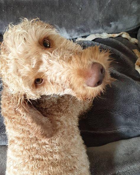 Rainy day blues :/...   Rainy day blues :/ . . . . . ..#doggo #dontcallmecharles #dog #dogs #dogsofinstagram #cockapoosofbritain #cockapoosofengland #cockapooclub #cockapoo_corner #cockapoo #cockapoosdaily #cockapoosofinsta #cockapoos #cockapoolove #cockapoopuppy #cockapoosofinstagram #cockapoolife #gingerandproud #gingerdog #ginger #apricotdog #apricotcockapoo #dogsterdogs #cute #moderndog #dogsofbark #urbanpawsuk #photooftheday #photogenic #photography @vogue_dogs_com @animal_direction